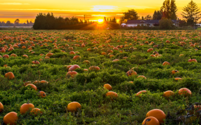 Pumpkin Patches in the Triangle